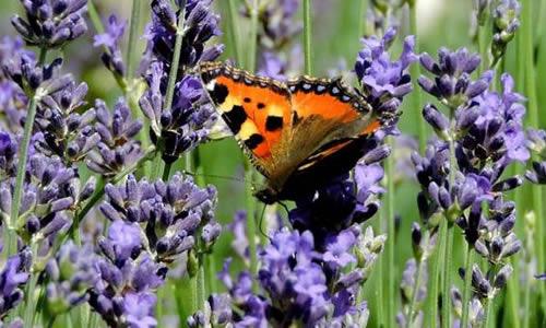 Un papillon posé sur de la lavande.
