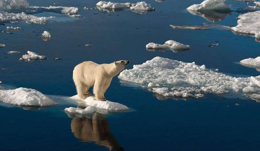 Ours polaire qui est confronté à la fonte de la banquise arctique