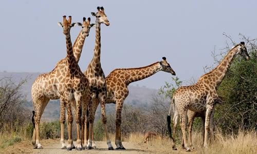 Les girafes font parti des espèces en danger par l'Homme.