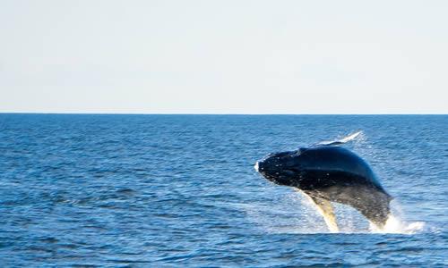 Une baleine dans l'océan.