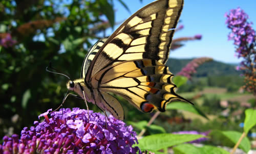 Un papillon qui devient rare dans la Nature.